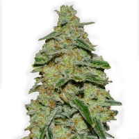 Lemon Cake Feminised Cannabis Seeds (Formerly Lemon Cheesecake) | Heavyweight Seeds