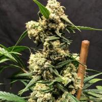 Lemon Meringue Auto - Tastebudz - Discount Cannabis Seeds