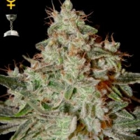 Lemon Skunk Feminised Cannabis Seeds | Green House Seeds