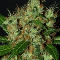 Lemonator Feminised Cannabis Seeds | Next Generation Seeds
