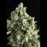 Auto Lennon Feminised Cannabis Seeds | Pyramid Seeds