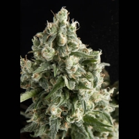 Lennon Feminised Cannabis Seeds | Pyramid Seeds
