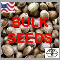 Purple Urkle Feminized Cannabis Seeds | Good Buzz Genetics