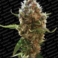 Lucid Bolt Feminised Cannabis Seeds | Paradise Seeds