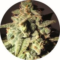Micron Auto Tao Regular Cannabis Seeds