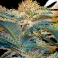 Moham Ram Feminised Cannabis Seeds | Sweet Seeds