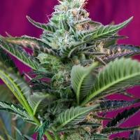 Moham Ram Auto Feminised Cannabis Seeds | Sweet Seeds