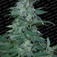 Magic Bud Feminised Cannabis Seeds | Paradise Seeds