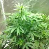 Magnum Auto Feminised Cannabis Seeds   Buddha Seeds