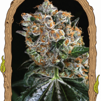 Malasana Cookies Feminised Cannabis Seeds | Exotic Seeds