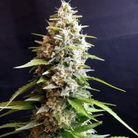 Maltezerz Feminised Cannabis Seeds | G13 Labs