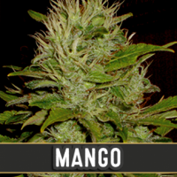 Mango Feminised Cannabis Seeds | Blim Burn Seeds