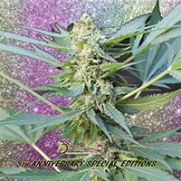 Mango Bubble Cloud Auto Feminised Cannabis Seeds | Dr Krippling