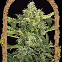 Mango Cream Auto Feminised Cannabis Seeds | Exotic Seeds