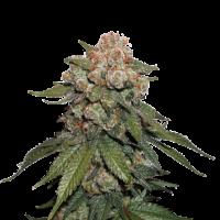 Maple Sherbert x Pre '89 Skunk Feminised Cannabis Seeds   Seed Stockers