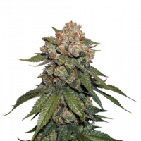 Maple Sherbet Feminised Cannabis Seeds | Seed Stockers