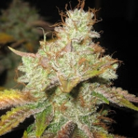 Master Kush Regular Cannabis Seeds | Spliff Seeds