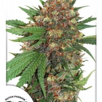 Master Kush Feminised Cannabis Seeds | Dutch Passion