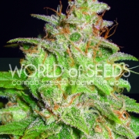Mazar x White Rhino Feminised Cannabis Seeds | World of Seeds