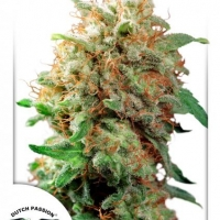 Mazar Feminised Cannabis Seeds | Dutch Passion