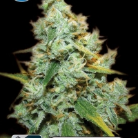 Medical AMG Haze Feminised Cannabis Seeds | Kera Seeds