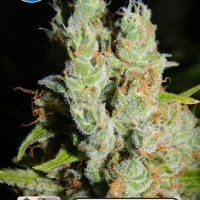 Medical Buddha Feminised Cannabis Seeds | Kera Seeds