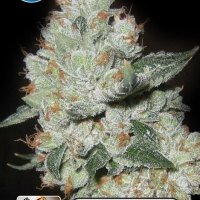 Medical OG Kush Feminised Cannabis Seeds | Kera Seeds