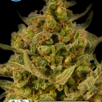 Medical Skunk Feminised Cannabis Seeds | Kera Seeds