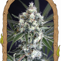 Medxotic Pure CBD Feminised Cannabis Seeds | Exotic Seeds