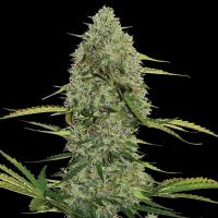 Mega Power Plant Auto Feminised Cannabis Seeds | Spliff Seeds