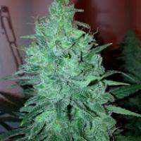 Mega Power Plant Feminised Cannabis Seeds