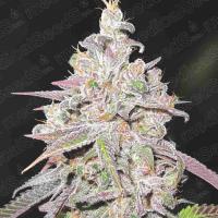 Mendocino Chanel Kush Feminised Cannabis Seeds | Medical Seeds