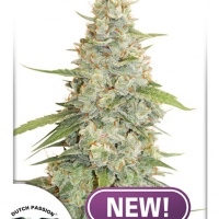 Meringue Feminised Cannabis Seeds | Dutch Passion