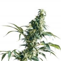 Mexican Sativa Regular Cannabis Seeds | Sensi Seeds