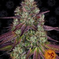 Mimosa EVO Feminised Cannabis Seeds | Barney's Farm