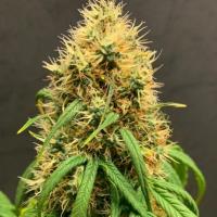 Mimosa Auto - Tastebudz - Discount Cannabis Seeds