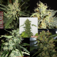 Mix Pack Auto 2.0 Feminised Cannabis Seeds | GreenLabel Seeds