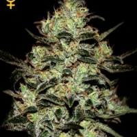 Moby Dick Feminised Cannabis Seeds | Green House Seeds