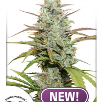 Mokum's Tulip Feminised Cannabis Seeds - Dutch Passion