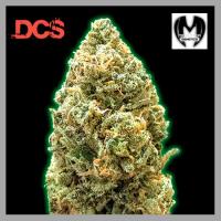 Monster Bruce Banner Auto Feminised Cannabis Seeds | Monster Genetics