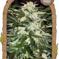 Monster Mash Auto Feminised Cannabis Seeds | Exotic Seeds