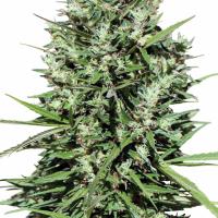 Morocco Beldia Kif Feminised Cannabis Seeds | Ace Seeds