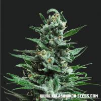 Moscow Blueberry Auto Feminised Cannabis Seeds   Kalashnikov Seeds