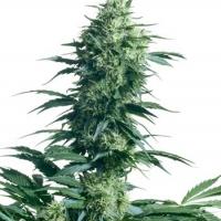 Mother's Finest Regular Cannabis Seeds | Sensi Seeds