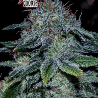 Mystic Cookie Feminised Cannabis Seeds | Positronics
