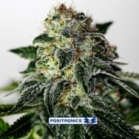 Mystic Cookie Express Auto Feminised Cannabis Seeds | Positronics