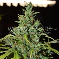Neville Haze Auto Feminised Cannabis Seeds | World of Seeds