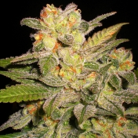 NL Automatic Feminised Cannabis Seeds