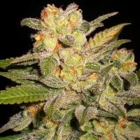 NL Automatic Feminised Cannabis Seeds