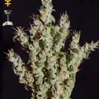 NL5 Haze Mist Feminised Cannabis Seeds | Green House Seeds